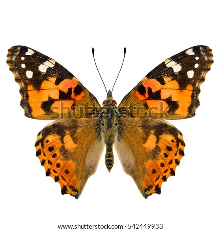 Painted Lady Butterfly Clip Art