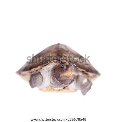 Painted river terrapin on white background. - stock photo
