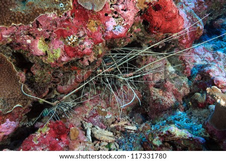 Painted Rock Lobsters in the coral reef - stock photo