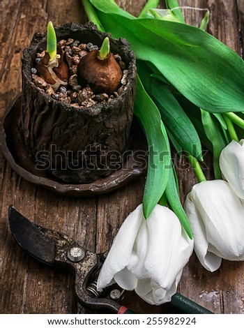 painted still life sprouted bulbs tulips - stock photo