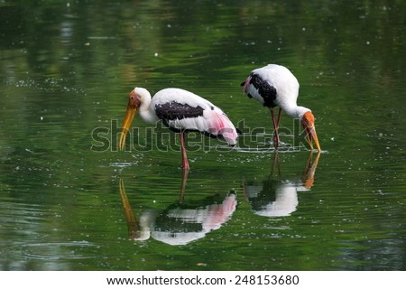 Painted stork feeding in a pond - stock photo