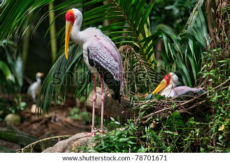 Painted Stork with its little one. The Painted Stork (Mycteria leucocephala) is a large wading bird in the stork family. - stock photo