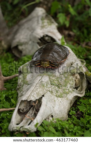 Painted Turtle (Chrysemys picta) Atop Deer Skull - captive animal