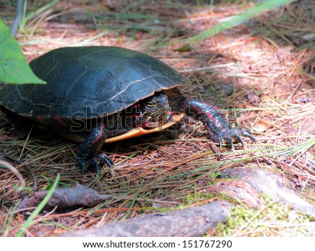 Painted turtle on a forest trail
