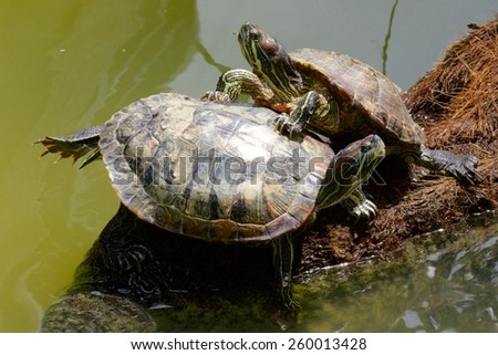 Painted Turtle, Singapore botanical gardens, Singapore