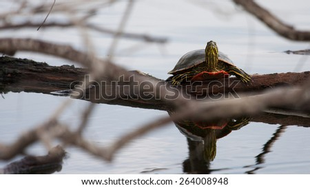 Painted Turtle Sunning itself on a log - stock photo