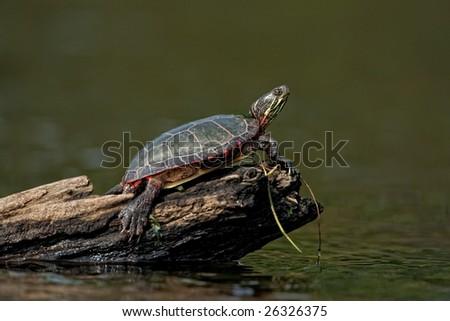 Painter turtle on log - stock photo