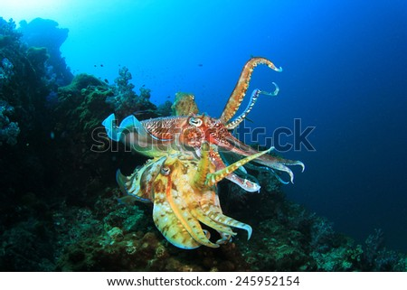 Pair Cuttlefish mating - stock photo