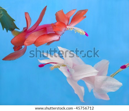 pair flowers on blue background - stock photo
