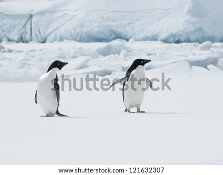 Pair of Adelie penguins (Pygoscelis adeliae) on an ice floe.