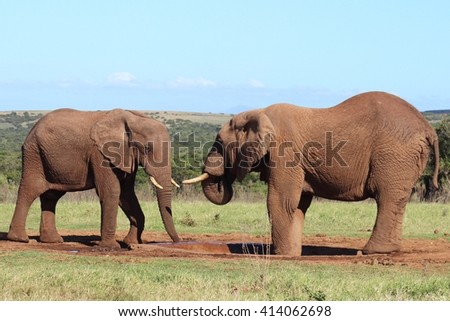 Pair of African elephants facing each other over a water hole.