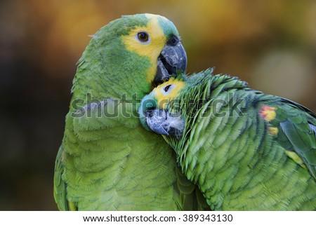 Pair of amazon parrots - stock photo