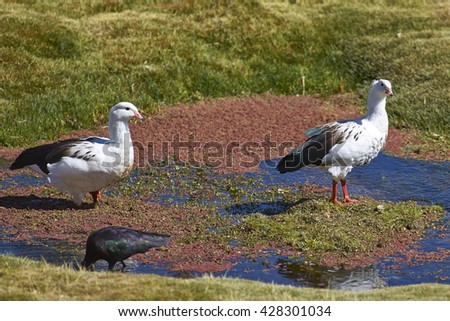 Pair of Andean Geese (Chloephaga melanoptera) on a mashy plain on the Altiplano of northern Chile in Lauca National Park. - stock photo