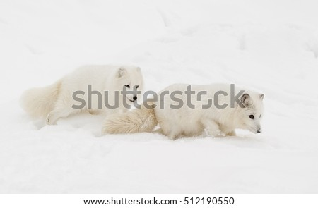 Pair of arctic fox on snow hill with one following the other