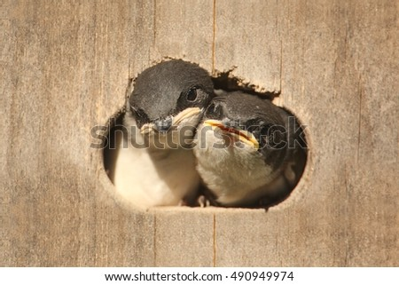 Pair of Baby Tree Swallows (tachycineta bicolor) looking out of a bird house