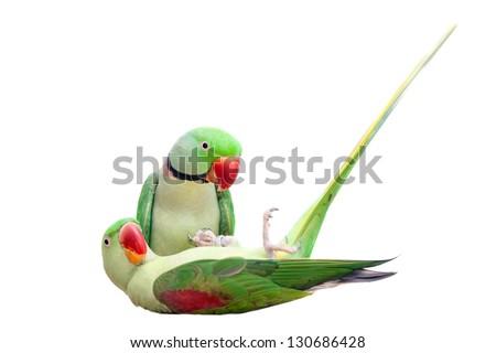 Pair of big green ringed or Alexandrine parakeet (Psittacula eupatria) isolated on white - stock photo