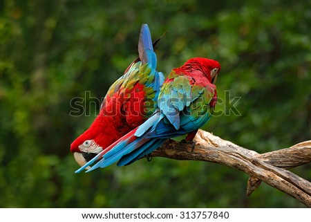 Pair of big parrot Red-and-green Macaw, Ara chloroptera, two birds sitting on the branch  - stock photo