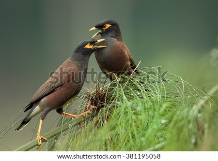 Pair of birds Common myna Acridotheres tristis, perched on  stem of papyrus against abstract green background, showing their favour in mating period.