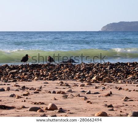 pair of black stilt seabirds with waves flowing over beach pebbles, Sailor's Grave Bay, Coromandel, New Zealand  - stock photo