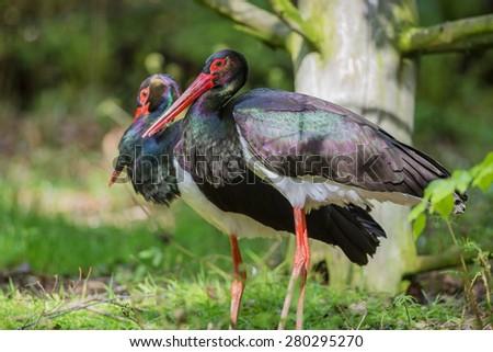 pair of black storks - Ciconia nigra - stock photo