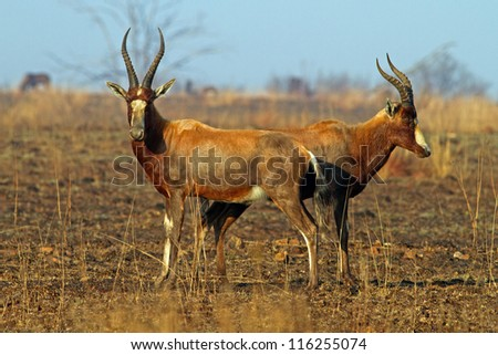 Pair of Blesbok on grassy field standing head to head