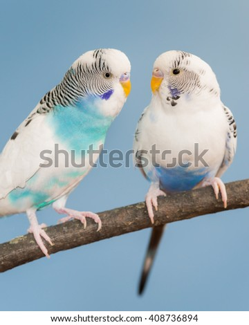 Pair of blue and white parakeets perched on bare branch - stock photo