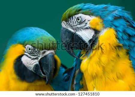pair of blue ara parrots in love - stock photo