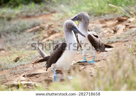 Pair of blue footed boobies performing mating dance, Galapagos Islands, Ecuador  - stock photo