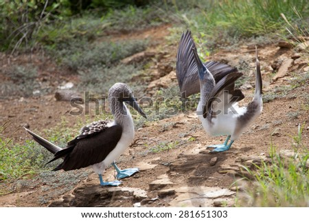 Pair of blue footed boobies performing mating dance, Galapagos Islands, Ecuador, Pacific, South America