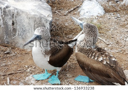 Pair of Blue-footed Booby bird sitting near the nest, Galapagos Islands - stock photo