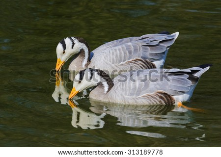 Pair of bra-headed geese with their reflection. A touching shot of a pair of lovely bar-headed geese as they cast their reflections onto the water. - stock photo