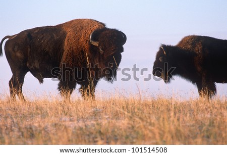 Pair of buffalo on the range, Niobrara National Wildlife Refuge - stock photo