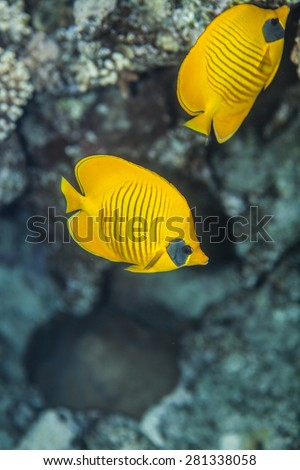 pair of butterflyfish swiminng near the stone wall of Red Sea coral reef - stock photo