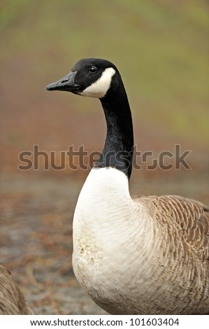 Pair of Canada geese in grasses aglow with evening sunlight - stock photo