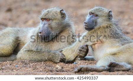 Pair of chacma baboons lying on ground grooming