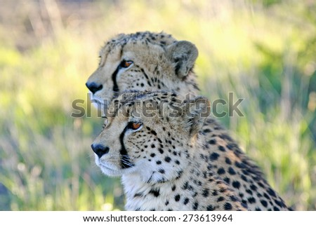 Pair of cheetah brothers - stock photo