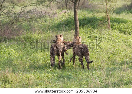 Pair of Cheetah males with kill - stock photo