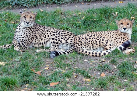 Pair of cheetahs in the zoo