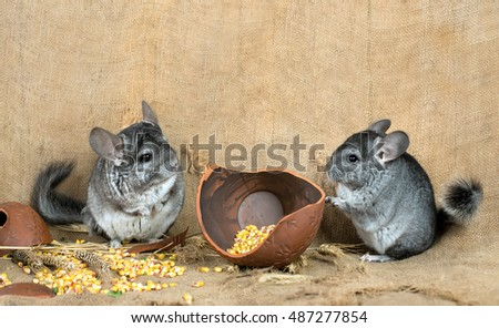 Pair of chinchillas in the barn on the background of a broken jug with corn grains.