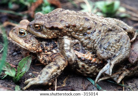 Pair of common toads