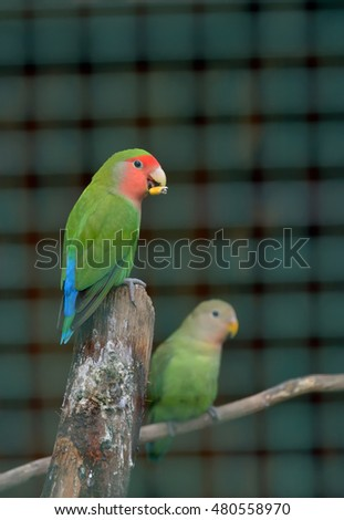 Pair of Cotorra parrot green