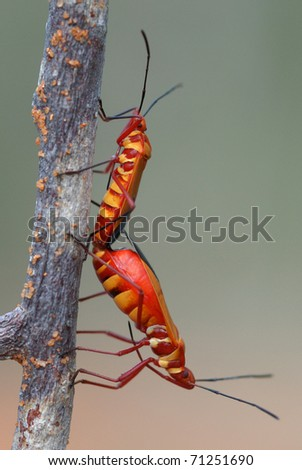 Pair of Cotton-stainer bugs mating in Reniala Nature Reserve, Ifaty, Madagacar - stock photo