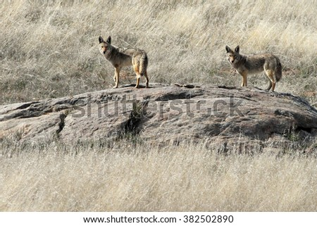 Pair of Coyotes on an Outcropping - stock photo