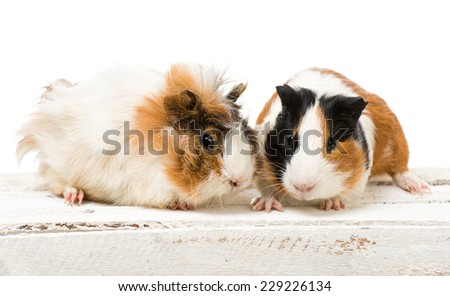 Pair of cute guinea pigs isolated on a white background - stock photo