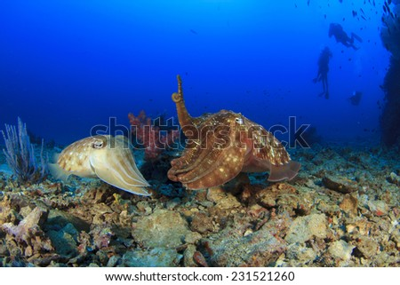 Pair of Cuttlefish mating - stock photo