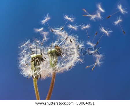 pair of dandelions in front of blue sky
