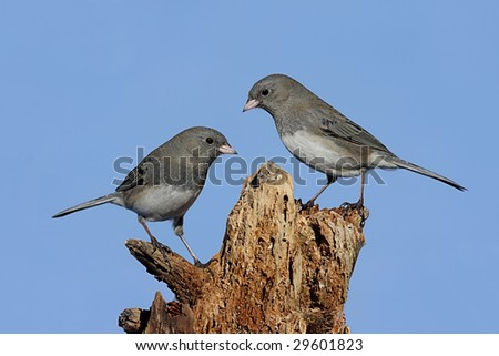 Pair of Dark-eyed Junco (hyemalis) on a stump with a blue sky background - stock photo