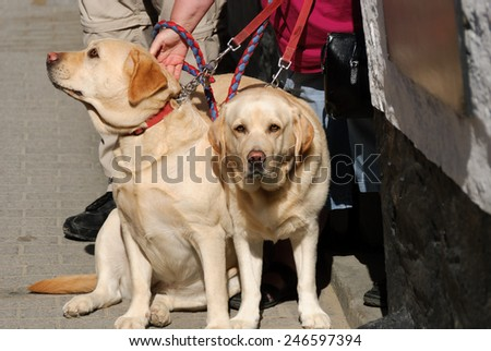 pair of dogs labrador in Camogli - stock photo