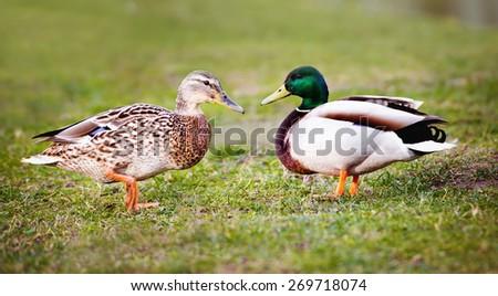 pair of ducks - stock photo