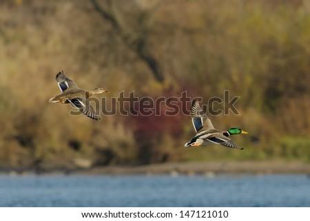 Pair of Ducks in flight over autumn background. - stock photo